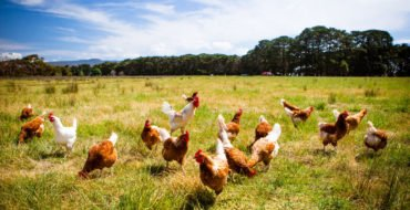 Poultry farming - Bird Flu
