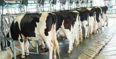 milk production