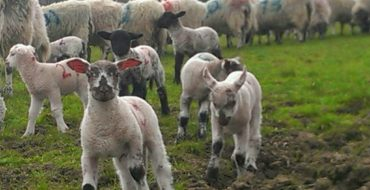 Coccidiosis - Sheep - Poultry - Cattle - Prevention and Treatment