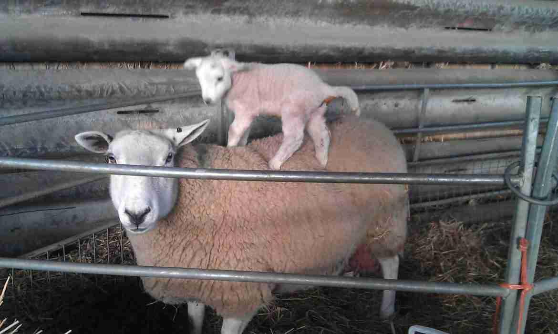Lambing Losses - Sheep - Ovine
