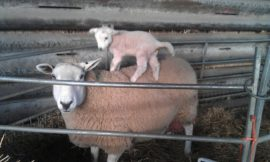 Lambing Losses - Sheep - Ovine