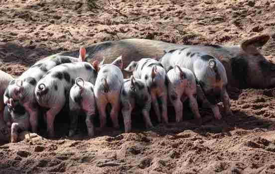 Pig Virus PRRS